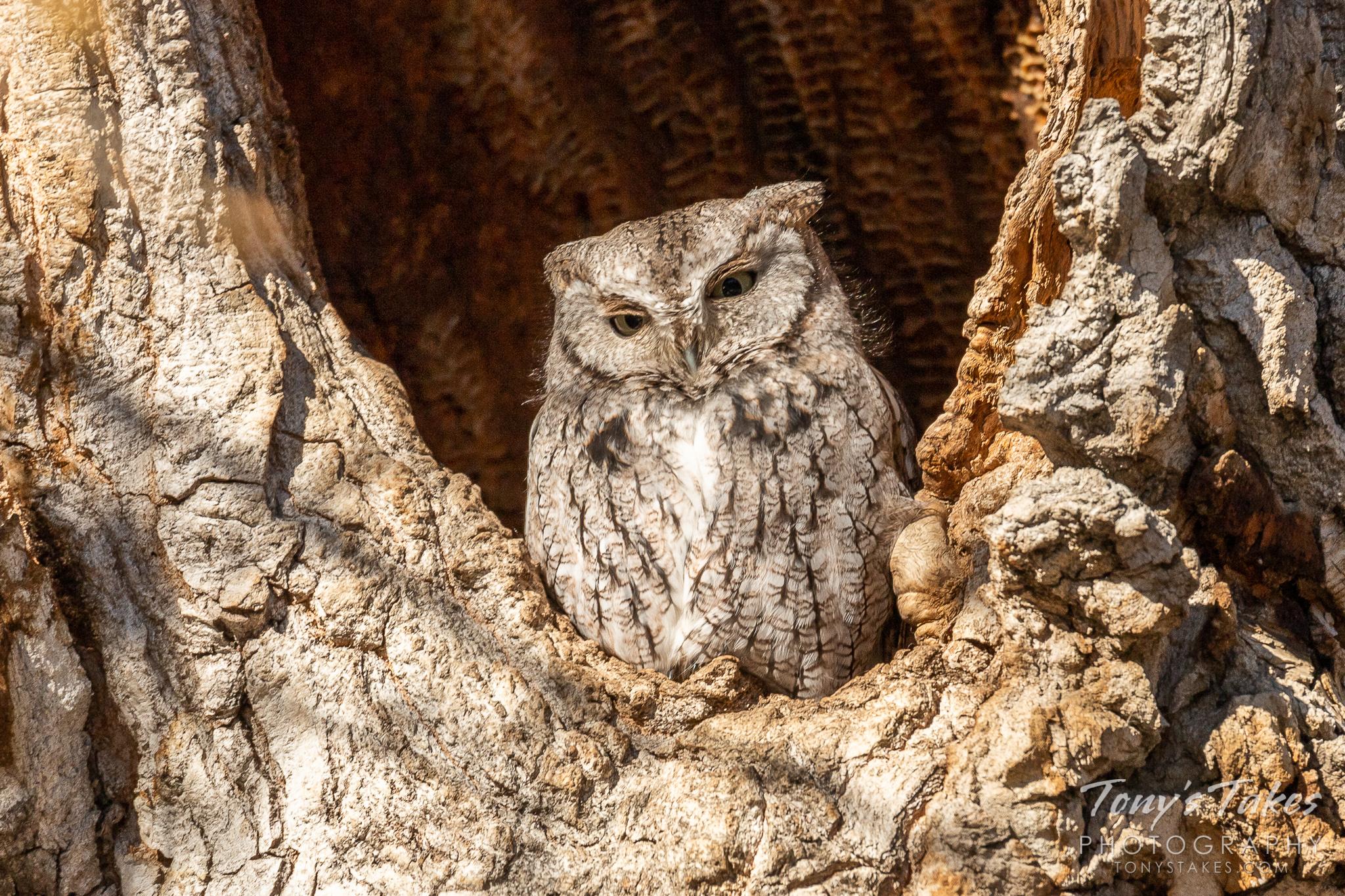 Little Screech Owl awakens from its nap