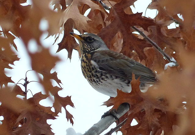 Far Afield Foray For A Fieldfare From Afar