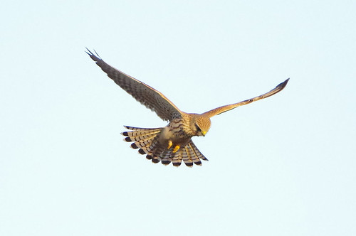 burwellfen kestrel cambridgeshire falcotinnunculus bird wild nature wildlife birdofprey nationaltrust hovering