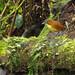 """Yellow-breasted Antpitta (Grallaria flavotincta) - """"Williama"""".  Refugio Paz de las Aves.  Tandayapa Valley, north-western Ecuador. by cbrozek21"""