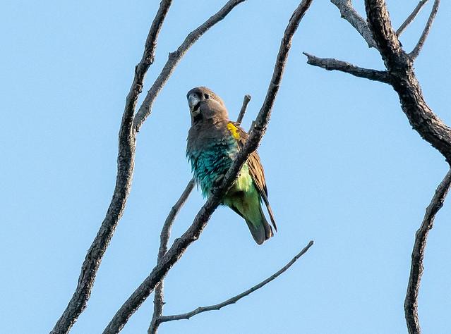Meyer's Parrot, Moremi Game Reserve, Botswana