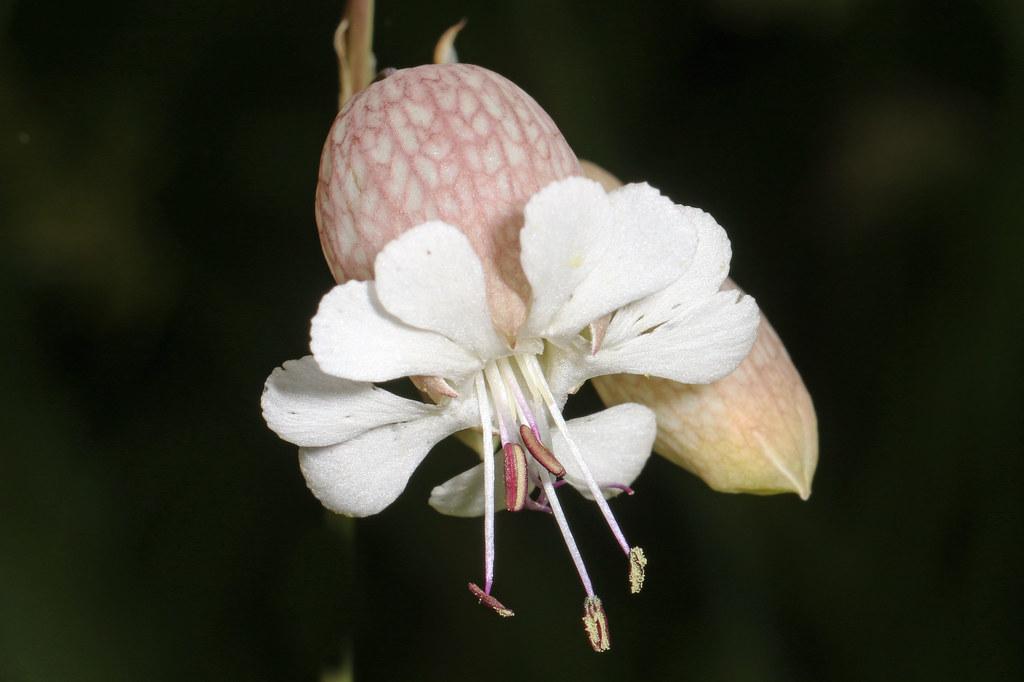 Bladder Campion - Silene vulgaris, Finzel Swamp, Finzel, Maryland