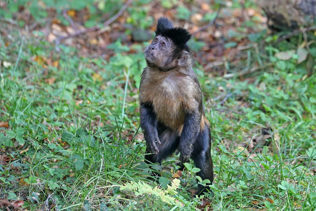 Brown Capuchin - Cebus apella