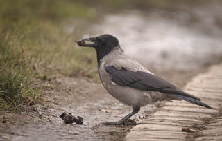 Hooded crow | by hedera.baltica