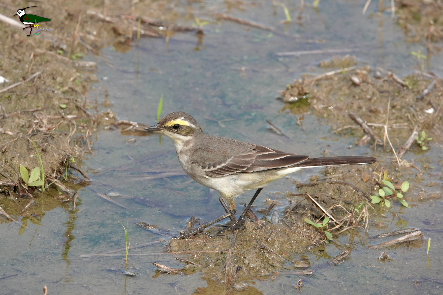 Yellow_Wagtail_Sony_04623