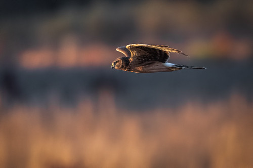 autumn nature fly fall birdsinflight mercermeadows hen northernharrier wildlife flight predator bird harrier polefarm raptor birdsofprey field pennington newjersey unitedstates us nikon d500