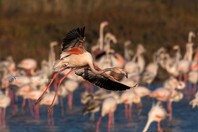 Phoenicopterus roseus, Φοινικόπτερα, Greater Flamingos