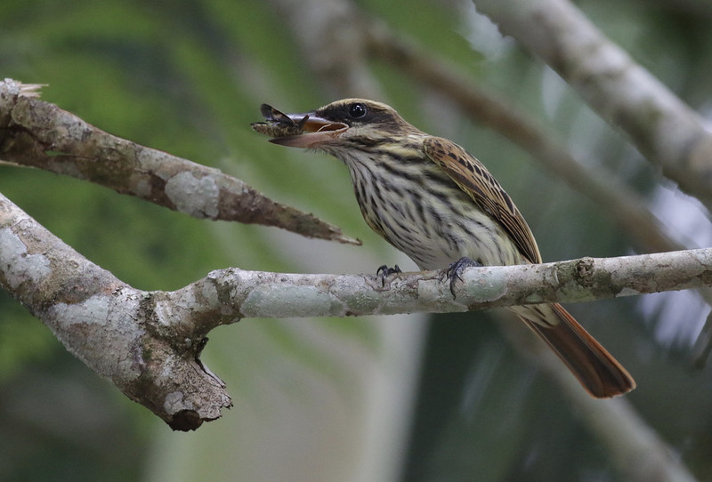 Streaked Flycatcher, Myiodynastes maculatus Ascanio_PAnama 199A7553