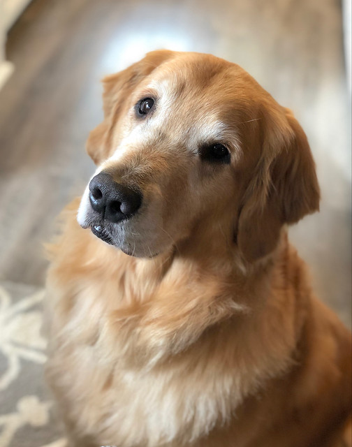 A Portrait - Watson the Golden - Sit!