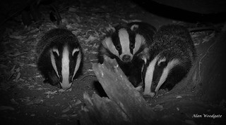 Badgers (Meles meles) - Buckinghamshire   by Alan Woodgate