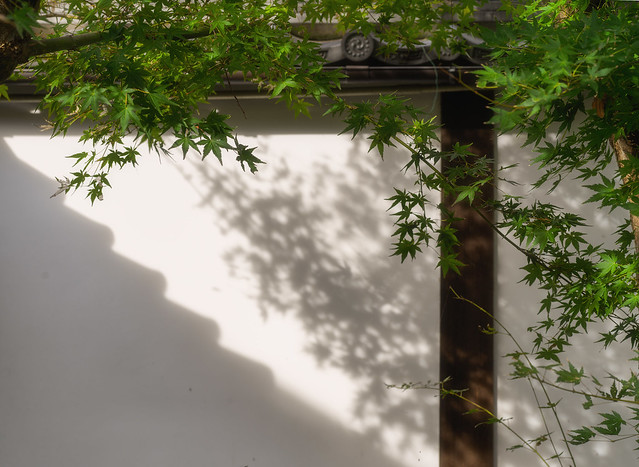 Maples and shadows
