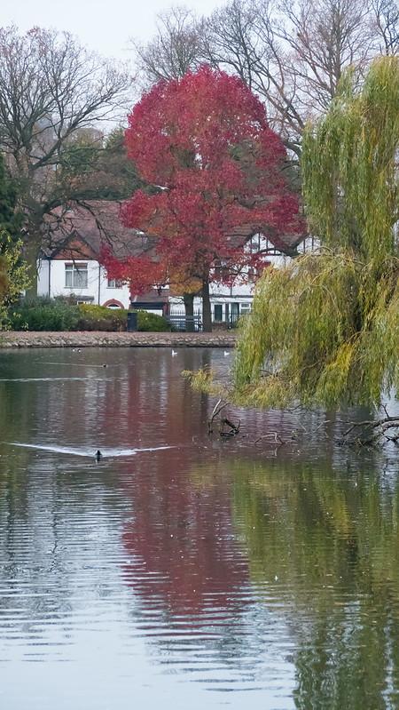 Autumn colour: liquidambar, West Park