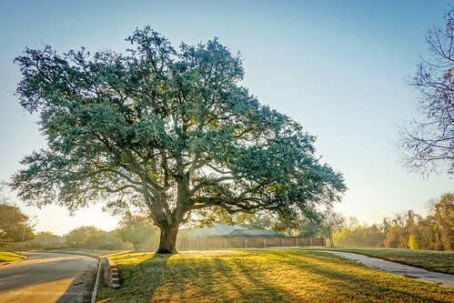 goldenhour oak oaktree tree sunlight sunrise lightrays dew sonyrx100 sonyrx100m6 sonyrx100vi shadow