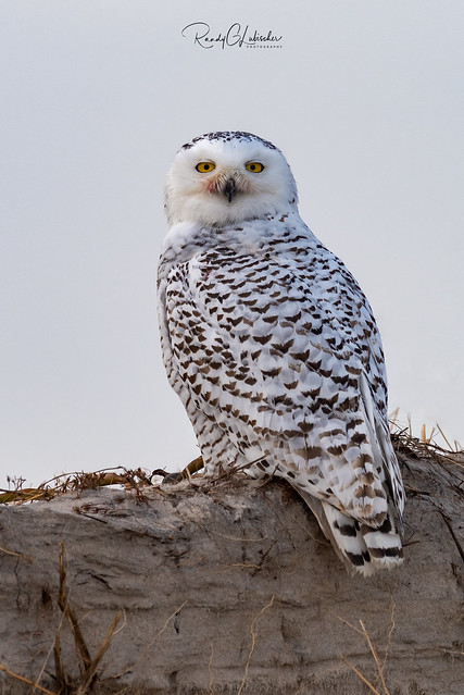 Snowy Owls of New Jersey | 2018 - 33