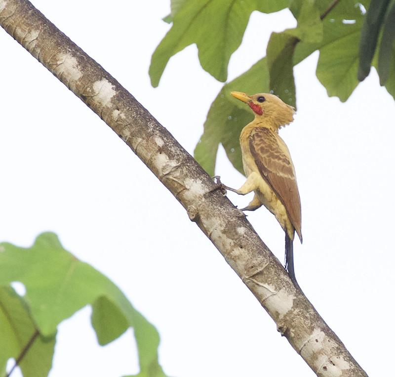 Cream-colored Woodpecker, Celeus flavus Ascanio_Peruvian Amazon 199A6357