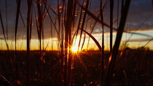 sunset, tall grass | by pepperberryfarm