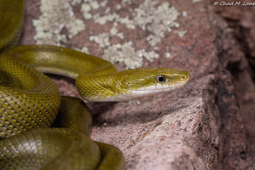 Green Ratsnake (Senticolis triaspis) | by Chad M. Lane