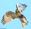 Red-tailed Hawk by Ceredig Roberts