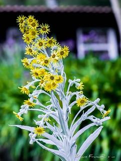 Flores de la sierra - Flowers of the sierra | by Luis FrancoR