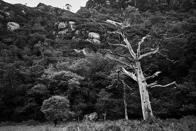 white_tree_L2014146