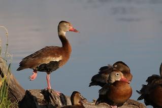 Black-bellied Whistling-duck | by kidbirder