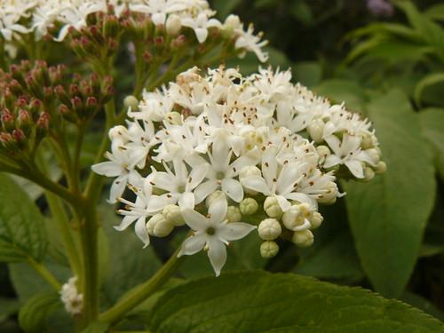 mount kenya elderberry elder white flower inflorescence