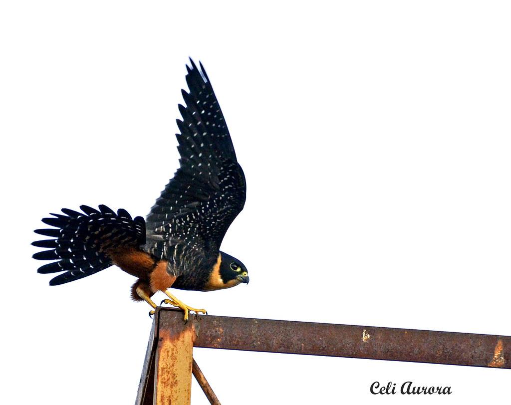 "Cauré - "" Falco rufigularis "" - Bad Falcon -  -  083"