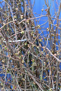 Quince buds | by Oregon Coastal Flowers