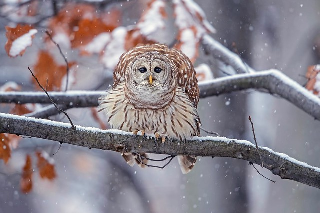 Abominable Snow Owl...