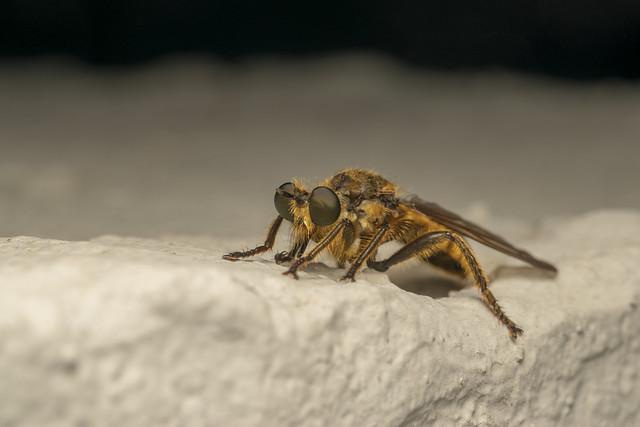Robber fly (lat. Choerades fimbriata)