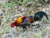 Red Junglefowl (Gallus gallus) by David Cook Wildlife Photography