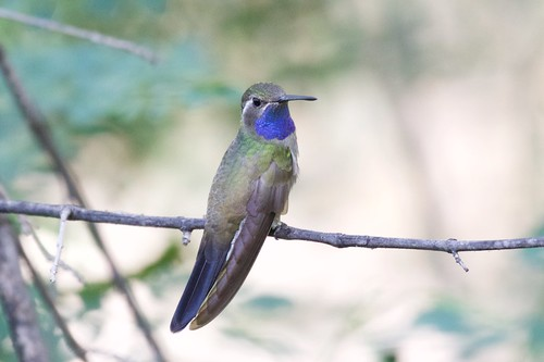 Blue-throated Hummingbird | South Fork | Cave Creek | AZ | 2015-07-01at11-18-138 | by Bettina Arrigoni