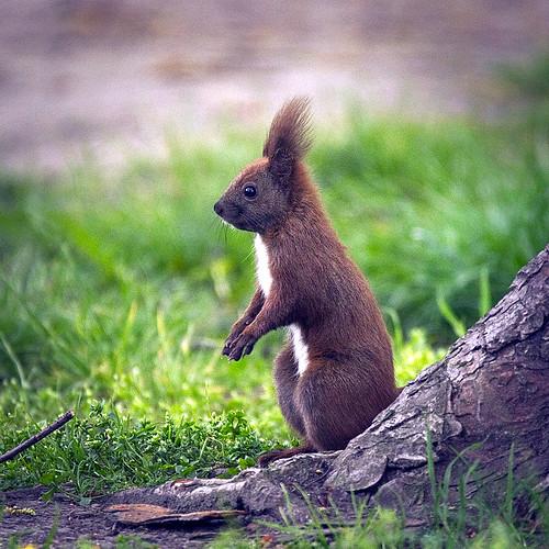 Red squirrel   by hedera.baltica