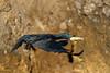 Grand cormoran (Phalacrocorax carbo) by Voirailleurs