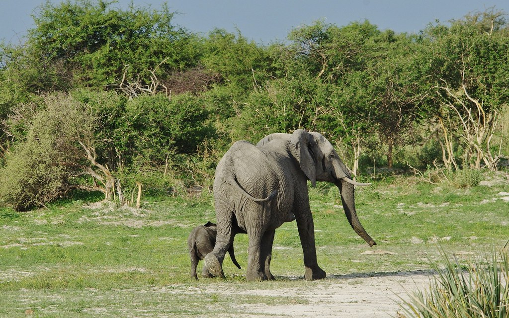 Botswana landscape with Elephant Mother And Youngster
