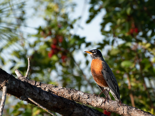 Robin | by Ed Rosack
