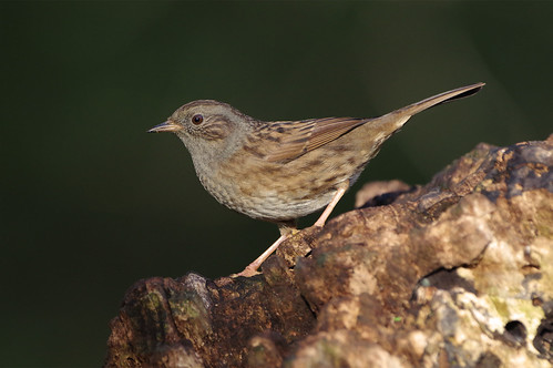 lackfordlakes suffolk wild bird wildlife nature dunnock prunellamodularis
