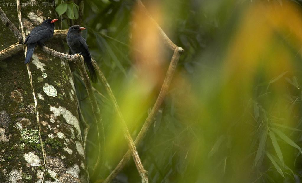 Black-fronted nunbirds (Monasa nigrifrons)
