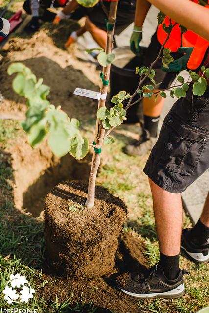 TreePeople Street Planting in Lynwood, California.