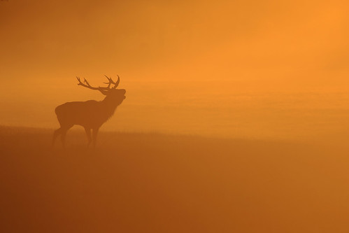 windsor berkshire uk park great deer fog sunrise andreapucci