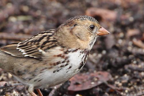 bird yakimaareaarboretum washingtonstate harrisssparrow zonotrichiaquerula