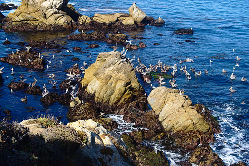 Pelicans, Cannery Point, Point Lobos | by aenigmatēs