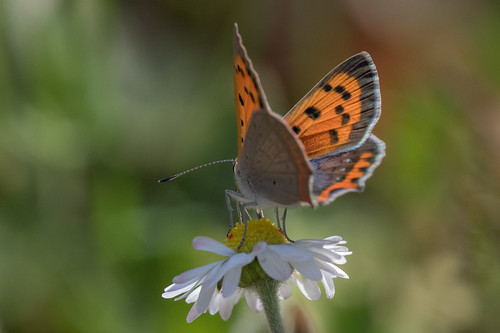 Cuivré commun ou Bronzé (Lycaena phlaeas). Small Copper. | by adrien2008