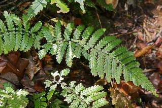 Blechnum diversifolium | by Ben Caledonia