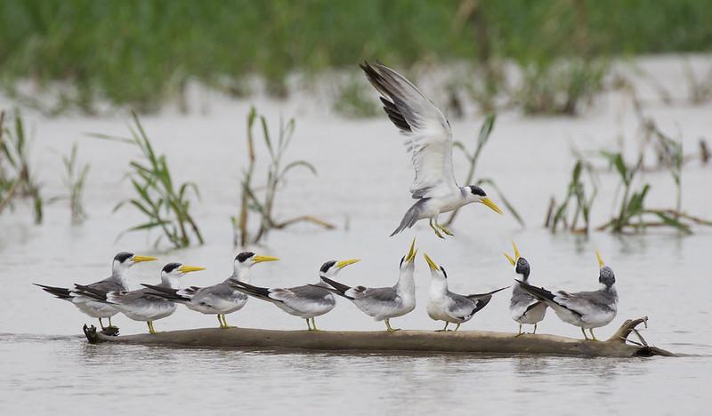 Large-billed Tern, Phaetusa simplex Ascanio_Peruvian Amazon 199A6527