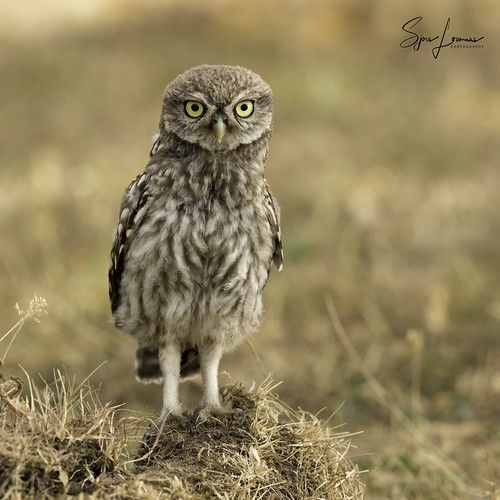 Steenuil / Little Owl - 25189 | by Sjors loomans