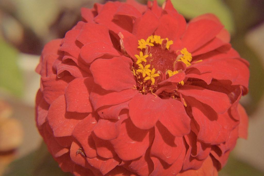 Spring 2018 Flower Closeups I | Nikon FE  Kodak Portra 400 I
