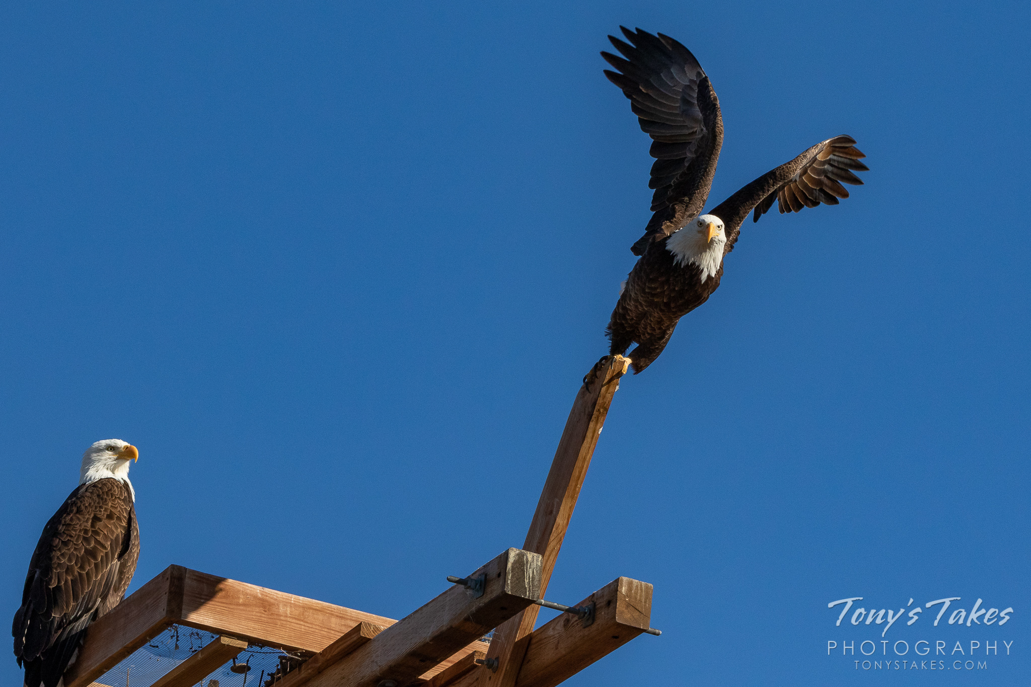 A male bald eagle launches into the sky in Weld County, Colorado while his mate looks on. (© Tony's Takes)
