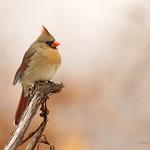 Cardinal rouge \ Northern Cardinal