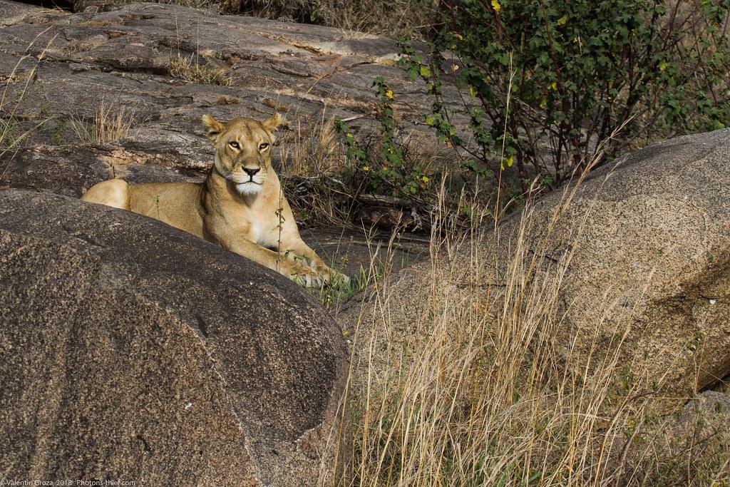 Leoaica cu pui_septembrie18_Serengeti_07